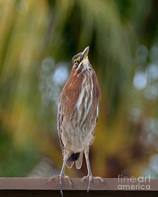 Photograph - Green Heron- On The Trellis by Darla Wood