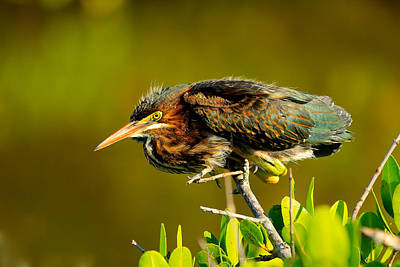 Photograph - Green Heron by Patrick Anderson