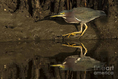 Photograph - Green Heron Photo by Meg Rousher