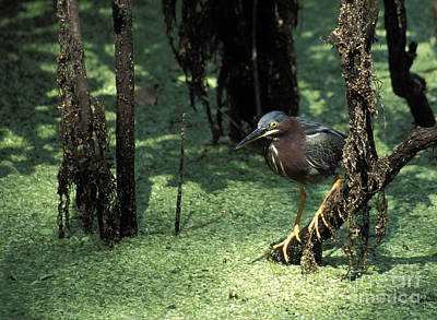 Photograph - Green Heron by Steven Ralser