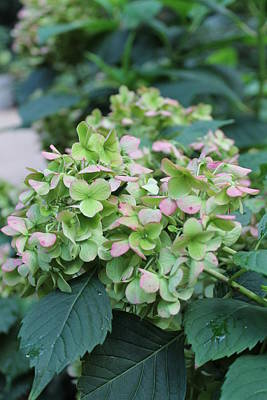 Andrea Grist Wall Art - Photograph - Green Hydrangea by Andrea K Grist