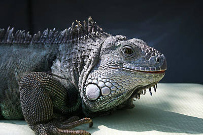 Photograph - Green Iguana 1 by Ellen Henneke