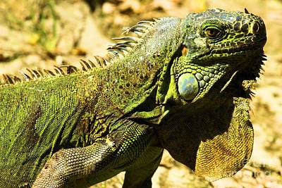 Photograph - Green Iguana by Adam Jewell