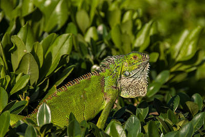 Photograph - Green Iguana by Brenda Jacobs