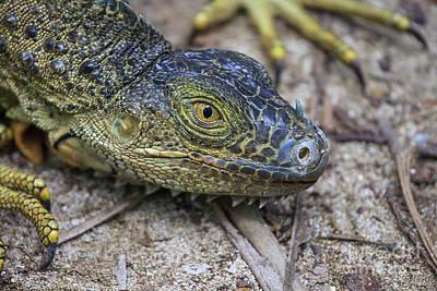 Green Iguana Head Art Print
