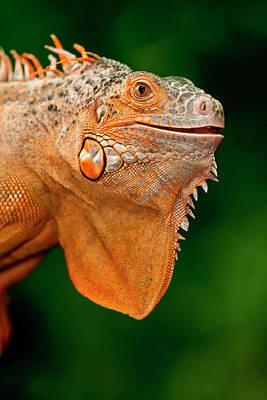 Iguana Wall Art - Photograph - Green Iguana, Iguana Iguana, Native by David Northcott
