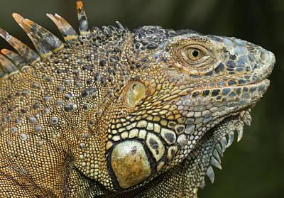 Green Iguana (iguana Iguana Art Print by William Sutton
