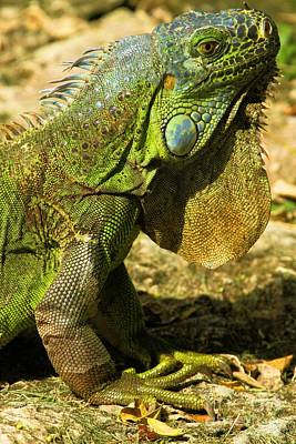 Photograph - Green Iguana In Cozumel by Adam Jewell