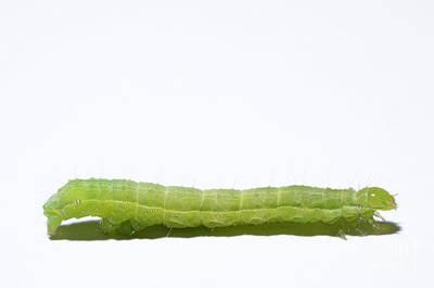 Green Inchworm On White Background Print by Sami Sarkis