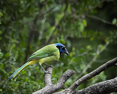 Photograph - Green Jay by Gary Neiss