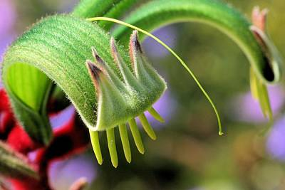 Photograph - Green Kangaroo Paw by David Rich