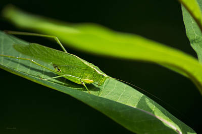 Photograph - Green Katydid by Christina Rollo