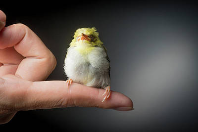 Kingfisher Wall Art - Photograph - Green Kingfisher Chick by Pan Xunbin