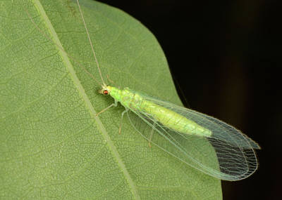 Green Lacewing Art Print by Nigel Downer