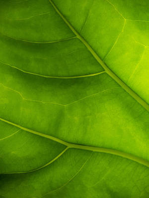 Photograph - Green Leaf by Bob Coates
