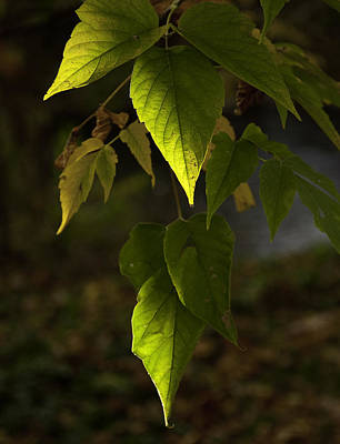 Photograph - Green Leaves by Craig Burgwardt