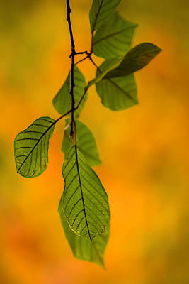 Green Leaves In Autumn Art Print