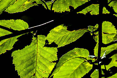 Photograph - Green Leaves by Karol Livote