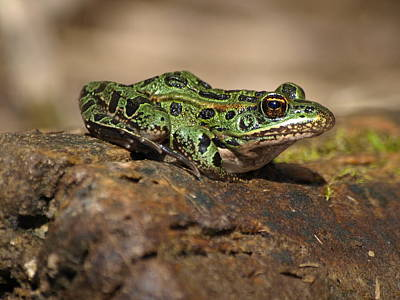 Green Leopard Frog Original by James Peterson
