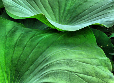 Photograph - Green Lotus Leaves  by Daliana Pacuraru
