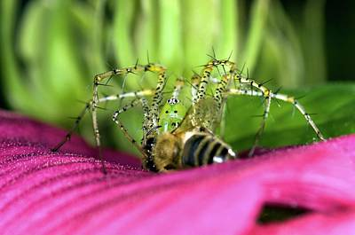 Lynx Wall Art - Photograph - Green Lynx Spider Feeding by Clay Coleman/science Photo Library
