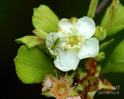 Green Lynx Spider On Blossom Art Print by Theresa Willingham