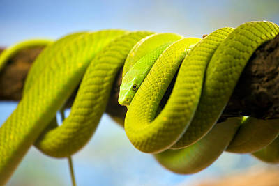 Green Mamba Coiled Up On A Branch Art Print