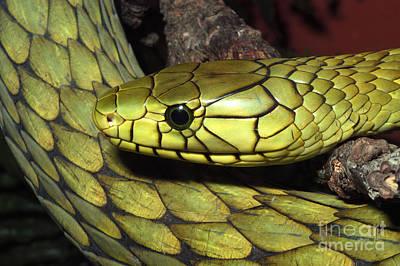 Photograph - Green Mamba by Gregory G. Dimijian