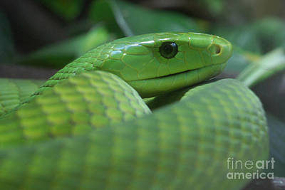 Photograph - Green Mamba by Rudi Prott