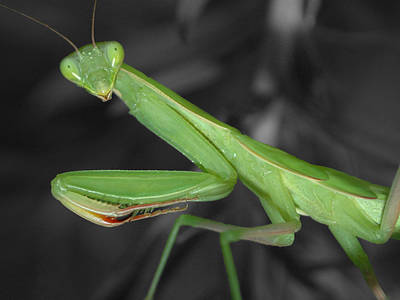 Photograph - Green Mantis by Shane Bechler