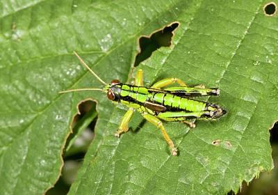 Grasshopper Photograph - Green Mountain Grasshopper by Bob Gibbons