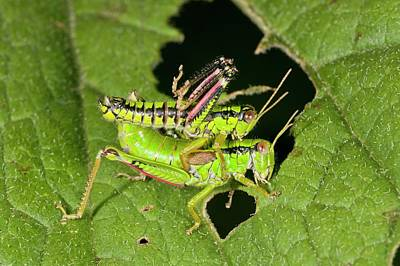Grasshopper Photograph - Green Mountain Grasshoppers Mating by Bob Gibbons