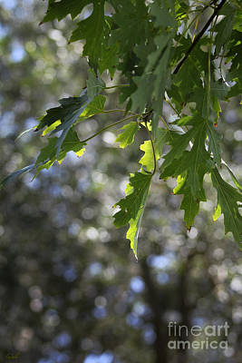 Photograph - Green Oak Leaves by Ella Kaye Dickey