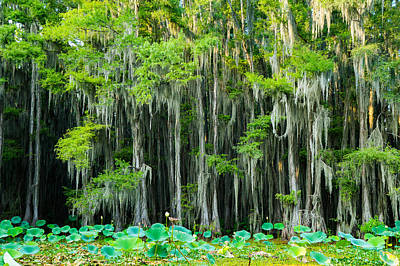 Green On Gray - Forest Of Bald Cypress Trees -texas Print by Ellie Teramoto