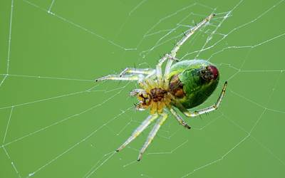Spider Photograph - Green Orb Weaver Spider by Heath Mcdonald