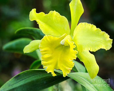 Eyzen Medina Photograph - Green Orchid by Eyzen M Kim