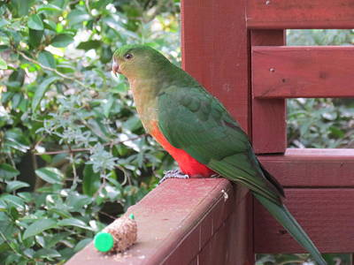 Photograph - Green Parrot by Joyce Woodhouse
