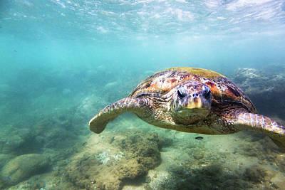 Photograph - Green Sea Turtle Chelonia Mydas by Danilovi