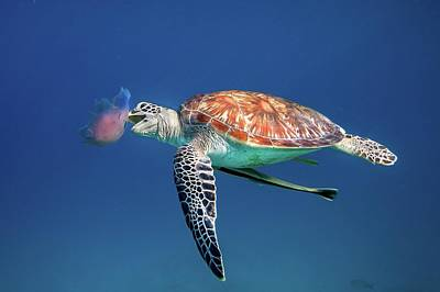Photograph - Green Sea Turtle Eating Jellyfish by Ai Angel Gentel