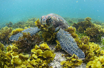 Green Sea Turtle Photograph - Green Sea Turtle Eating Seaweed by Tui De Roy