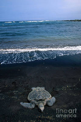 Chelonian Photograph - Green Sea Turtle Emerging To Nest by Mark Newman