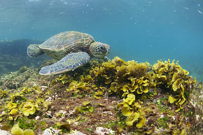 Green Sea Turtle Photograph - Green Sea Turtle Galapagos Islands by Tui De Roy