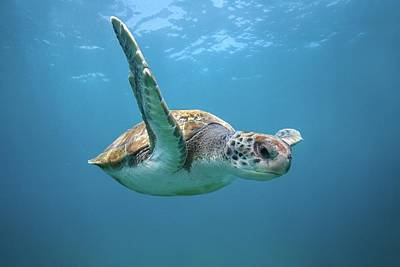 Green Sea Turtle In Canary Islands Art Print by James R.d. Scott