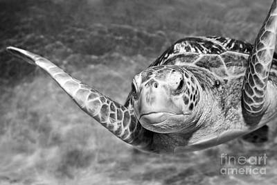 Monterey Bay Aquarium Photograph - Green Sea Turtle. by Jamie Pham