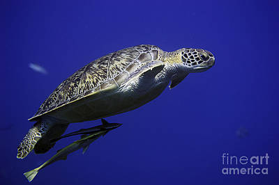 Photograph - Green Sea Turtle by JT Lewis