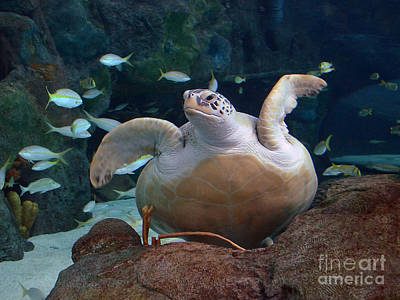 Photograph - Green Sea Turtle by Kathy Baccari