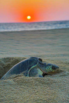 Green Sea Turtle Laying Eggs, Hotelito Art Print