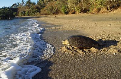 Green Sea Turtle Photograph - Green Sea Turtle by M. Watson