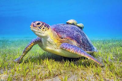 Photograph - Green Sea Turtle Near Marsa Alam , Egypt by Cinoby