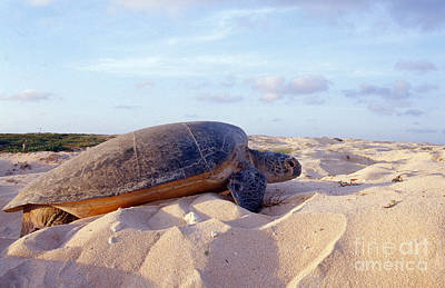 Chelonian Photograph - Green Sea Turtle Nesting by Bill Bachmann